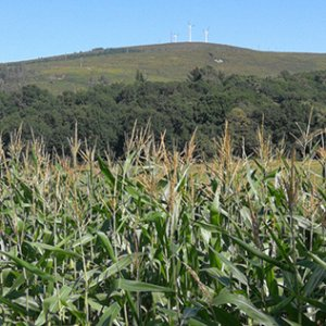 They grow corn in abundance; this was between Lestado and Melide